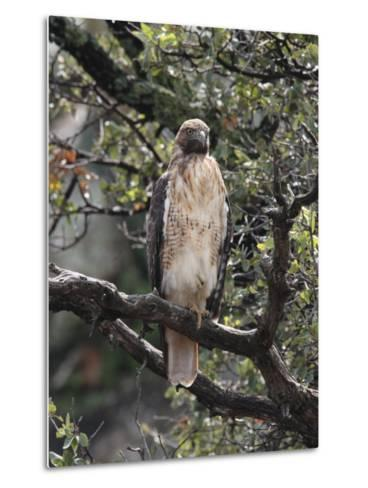 Immature Red Tail Hawk, Buteo Jamaicensis, Perched on a Branch-George Grall-Metal Print