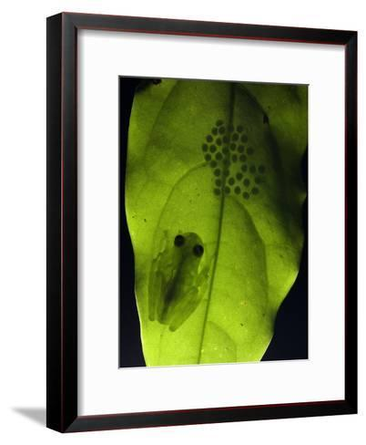 Glass Frog on Leaf with a Mass of Eggs Seen Backlit Through the Leaf-Roy Toft-Framed Art Print