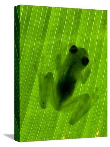 Well-Camouflaged Glass Frog on a Leaf. Shows Transparent Skin-Roy Toft-Stretched Canvas Print