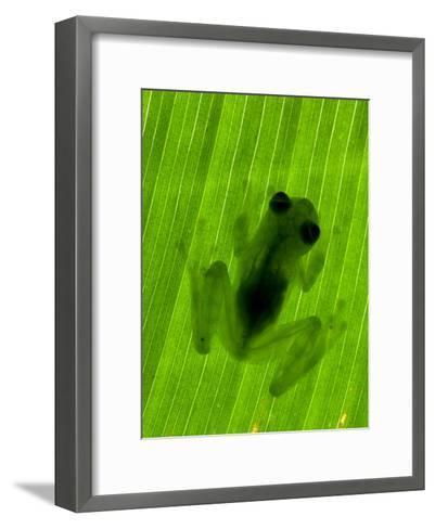 Well-Camouflaged Glass Frog on a Leaf. Shows Transparent Skin-Roy Toft-Framed Art Print