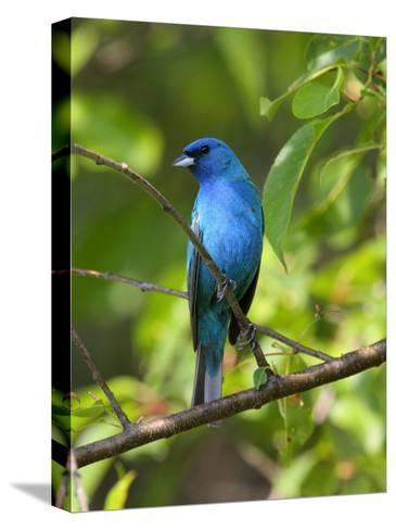 Indigo Bunting, Passerina Cyanea, Perched on a Cherry Tree-George Grall-Stretched Canvas Print