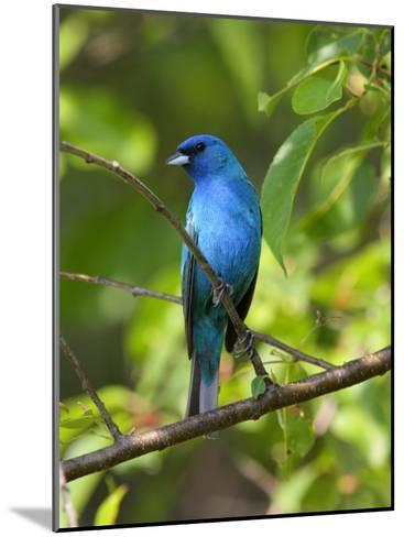 Indigo Bunting, Passerina Cyanea, Perched on a Cherry Tree-George Grall-Mounted Photographic Print