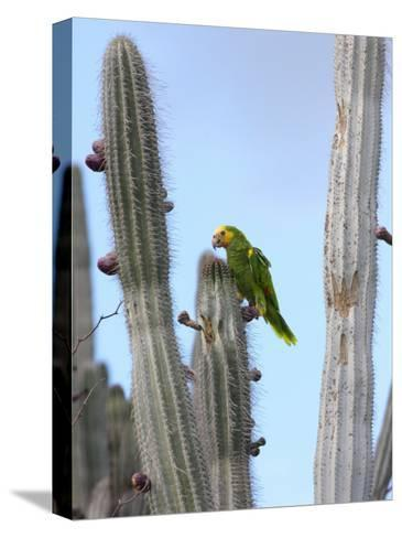 Yellow-Headed Amazon Parrot, Amazona Oratrix, Eating Cactus Pears-George Grall-Stretched Canvas Print