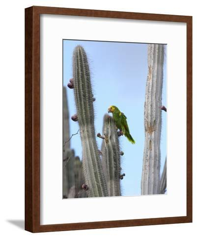 Yellow-Headed Amazon Parrot, Amazona Oratrix, Eating Cactus Pears-George Grall-Framed Art Print