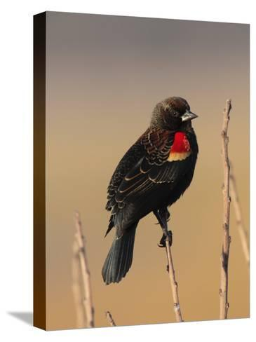 Male Red-Winged Blackbird, Agelaius Phoenicus Perched on a Branch-George Grall-Stretched Canvas Print