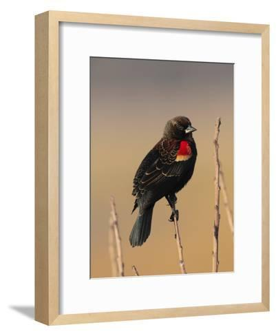 Male Red-Winged Blackbird, Agelaius Phoenicus Perched on a Branch-George Grall-Framed Art Print
