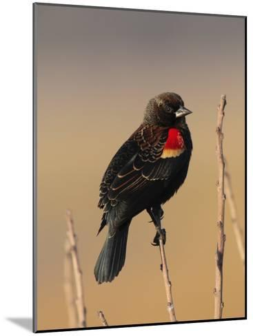 Male Red-Winged Blackbird, Agelaius Phoenicus Perched on a Branch-George Grall-Mounted Photographic Print
