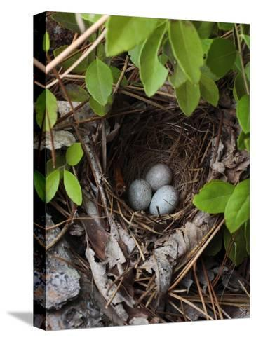Towhee Nest with 3 Eggs in It. Towhees are Ground Nesting Birds-George Grall-Stretched Canvas Print