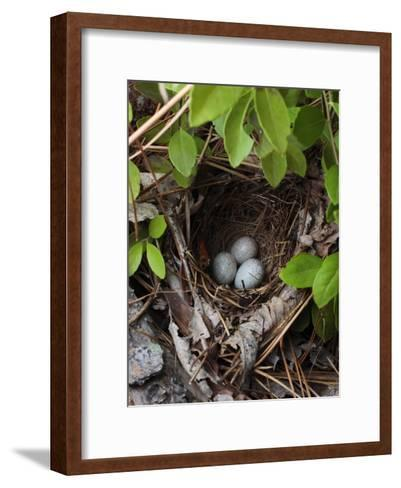 Towhee Nest with 3 Eggs in It. Towhees are Ground Nesting Birds-George Grall-Framed Art Print