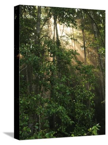 Sunlight Cuts Through the Morning Fog in the Olympic National Forest-George Grall-Stretched Canvas Print