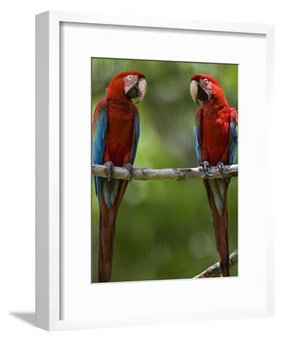 Pair of Scarlet Macaws Perched on a Tree Limb-Mattias Klum-Framed Art Print