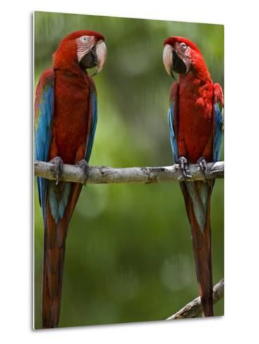 Pair of Scarlet Macaws Perched on a Tree Limb-Mattias Klum-Metal Print