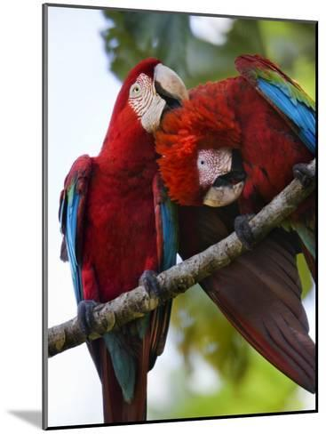 Pair of Scarlet Macaws Perched on a Tree Limb, Grooming-Mattias Klum-Mounted Photographic Print
