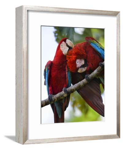 Pair of Scarlet Macaws Perched on a Tree Limb, Grooming-Mattias Klum-Framed Art Print