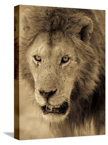 Male African Lion Looks Intently Ahead-Ralph Lee Hopkins-Stretched Canvas Print