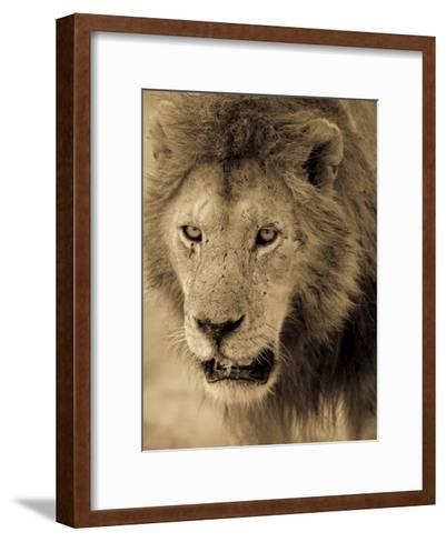 Male African Lion Looks Intently Ahead-Ralph Lee Hopkins-Framed Art Print