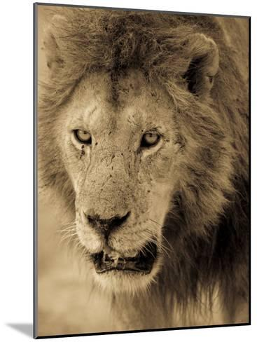 Male African Lion Looks Intently Ahead-Ralph Lee Hopkins-Mounted Photographic Print