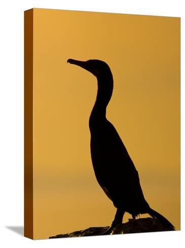 Cormorant Profiled by the Sunset-Ralph Lee Hopkins-Stretched Canvas Print