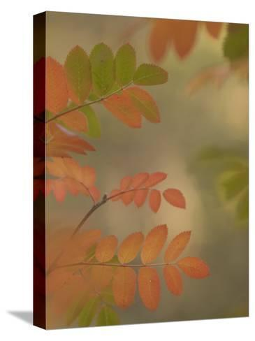 Colorful Sumac Leaves in Fall in the Stanislaus National Forest-Phil Schermeister-Stretched Canvas Print