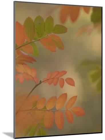 Colorful Sumac Leaves in Fall in the Stanislaus National Forest-Phil Schermeister-Mounted Photographic Print