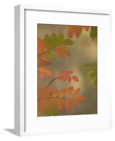 Colorful Sumac Leaves in Fall in the Stanislaus National Forest-Phil Schermeister-Framed Art Print