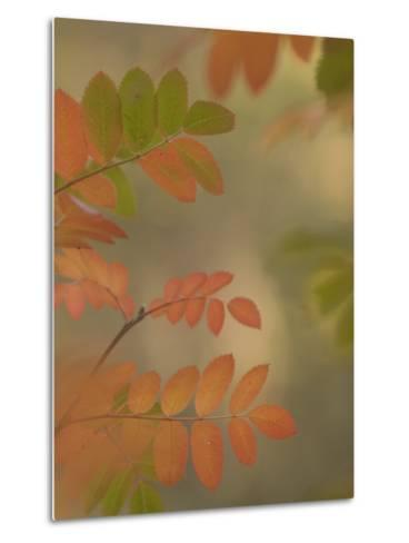 Colorful Sumac Leaves in Fall in the Stanislaus National Forest-Phil Schermeister-Metal Print