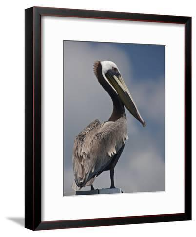 Portrait of a Brown Pelican in Belize-Michael Melford-Framed Art Print