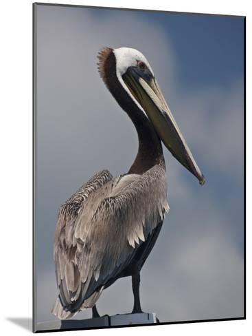 Portrait of a Brown Pelican in Belize-Michael Melford-Mounted Photographic Print