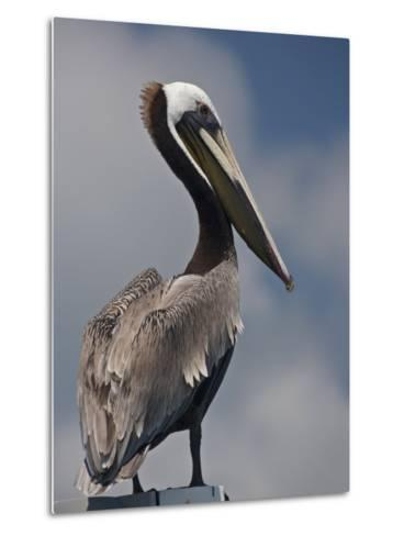 Portrait of a Brown Pelican in Belize-Michael Melford-Metal Print