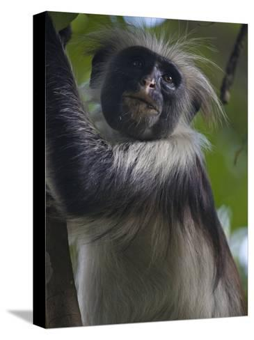 Portrait of a Red Colobus Monkey in a Tree-Michael Melford-Stretched Canvas Print