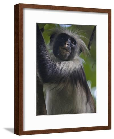 Portrait of a Red Colobus Monkey in a Tree-Michael Melford-Framed Art Print