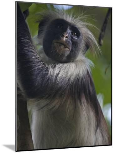 Portrait of a Red Colobus Monkey in a Tree-Michael Melford-Mounted Photographic Print