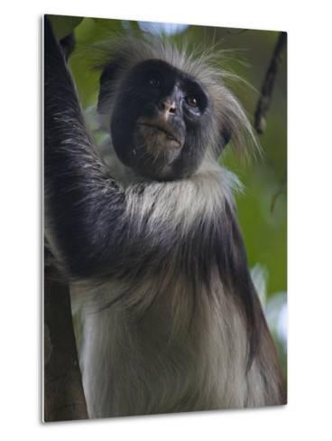 Portrait of a Red Colobus Monkey in a Tree-Michael Melford-Metal Print
