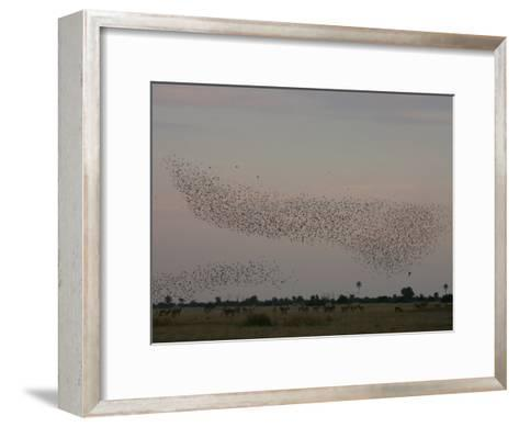 Red Lechwe, Kobus Leche, and Wattled Starlings, Creatophora Cinerea-Beverly Joubert-Framed Art Print
