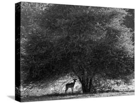 Impala in the Shade of a Large Acacia Tree-Beverly Joubert-Stretched Canvas Print