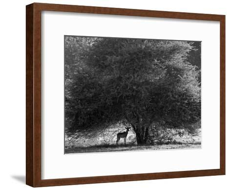 Impala in the Shade of a Large Acacia Tree-Beverly Joubert-Framed Art Print
