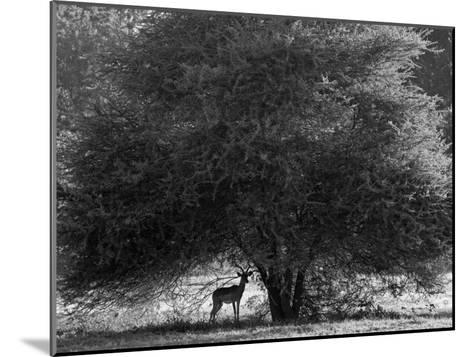 Impala in the Shade of a Large Acacia Tree-Beverly Joubert-Mounted Photographic Print