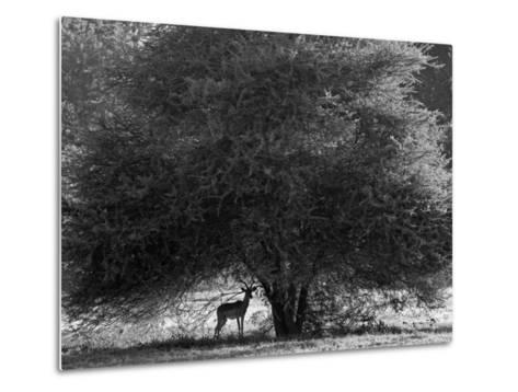 Impala in the Shade of a Large Acacia Tree-Beverly Joubert-Metal Print