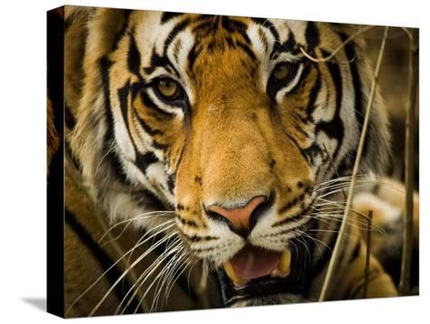Portrait of a Tiger, Panthera Tigris-Beverly Joubert-Stretched Canvas Print