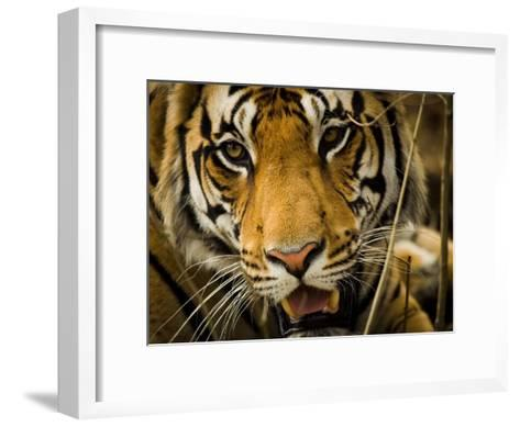 Portrait of a Tiger, Panthera Tigris-Beverly Joubert-Framed Art Print