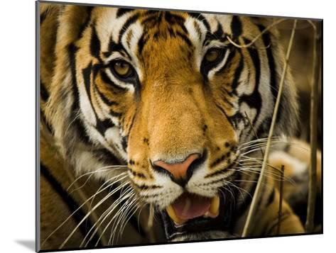 Portrait of a Tiger, Panthera Tigris-Beverly Joubert-Mounted Photographic Print