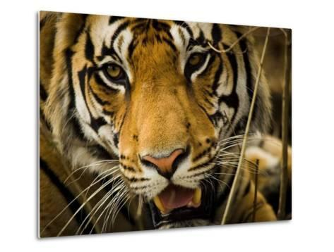 Portrait of a Tiger, Panthera Tigris-Beverly Joubert-Metal Print
