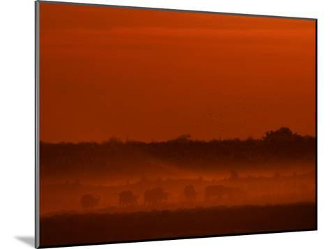Herd of African Buffalo, Syncerus Caffer, in Mist at Twilight-Beverly Joubert-Mounted Photographic Print