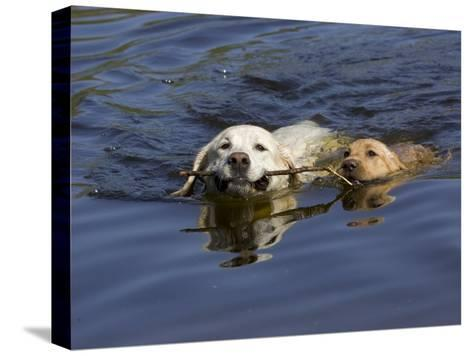 Adult and Puppy Labradors Playing Fetch with a Stick in the Water-Roy Toft-Stretched Canvas Print
