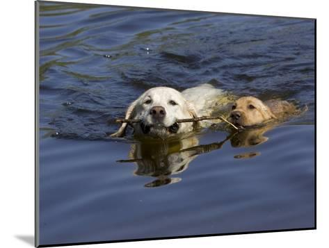 Adult and Puppy Labradors Playing Fetch with a Stick in the Water-Roy Toft-Mounted Photographic Print