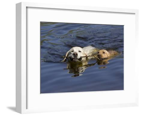 Adult and Puppy Labradors Playing Fetch with a Stick in the Water-Roy Toft-Framed Art Print