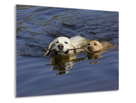 Adult and Puppy Labradors Playing Fetch with a Stick in the Water-Roy Toft-Metal Print