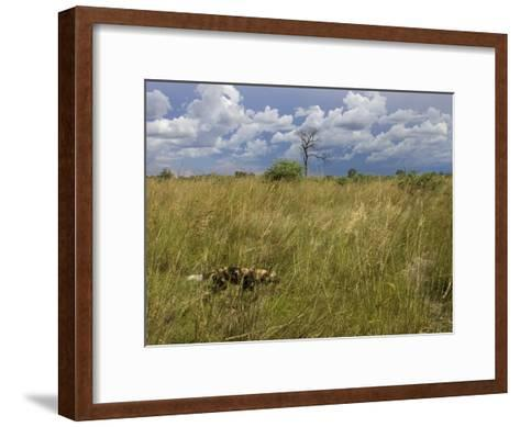 Lone African Wild Hunting Dog Walking in Tall Grass-Roy Toft-Framed Art Print