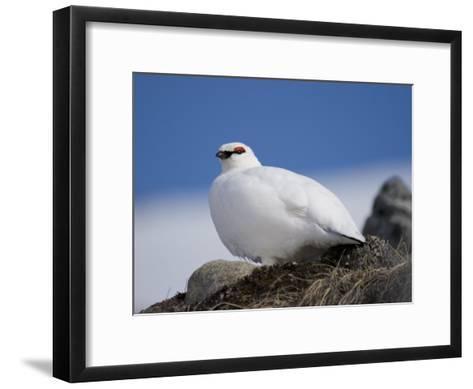 Male Rock Ptarmigan Against a Blue Sky-John Dunn-Framed Art Print