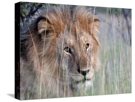 Male African Lion, Panthera Leo, in Tall Grasses-Kent Kobersteen-Stretched Canvas Print